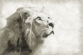 Gray and black lion drawing