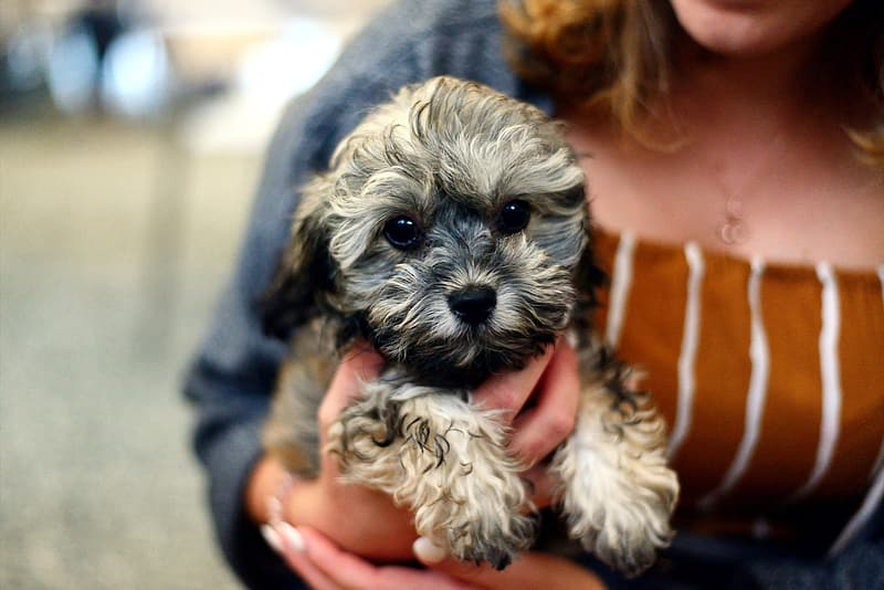 Person holding gray and white long coated small dog