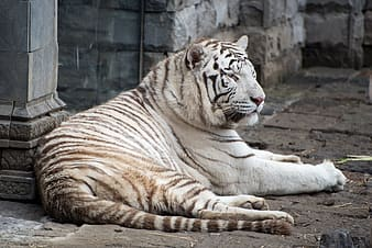 Albino tiger lying on concrete surface