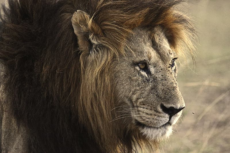 Close-up photography of brown lion
