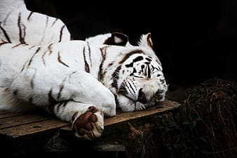 Bengal tiger sleeping on brown wooden surface