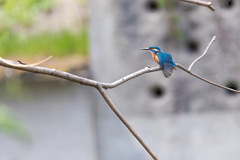 Selective focus photography of blue Kingfisher bird perched on tree branch at daytime