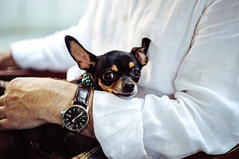 Brown and black chihuahua on white textile