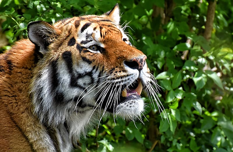 Brown tiger in close up photography