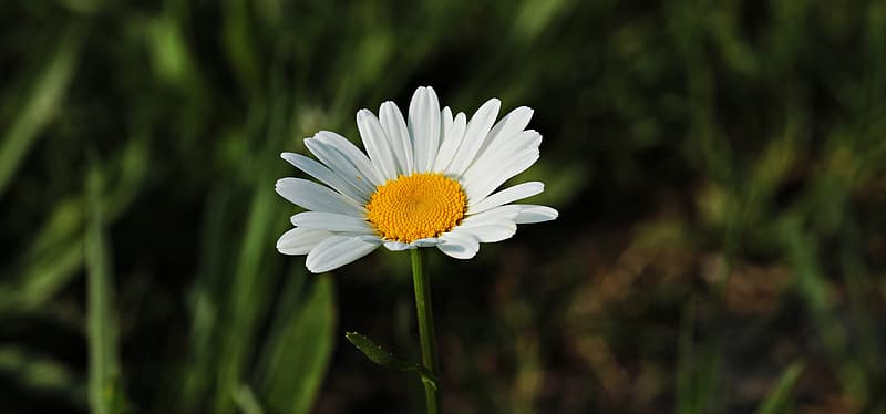 Shallow focus photography of white and yellow common daisy