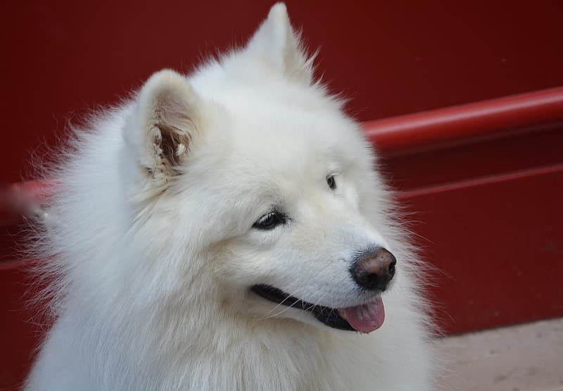 Japanese spitz near wall