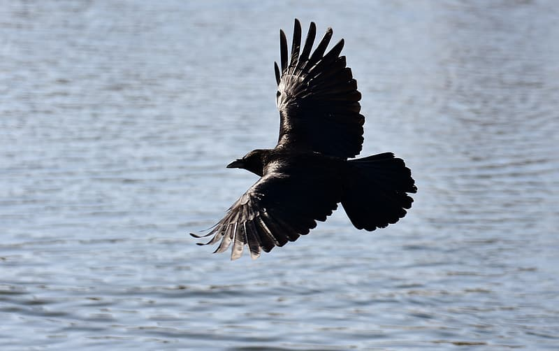 Black and brown bird hovering over body of water