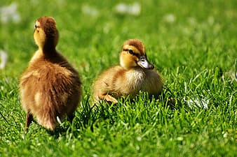 Selective focus photo of two brown ducklings on bed of green grasses