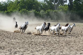 Herd of galloping horses on sand