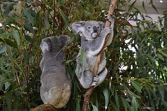 Two gray animals on trees