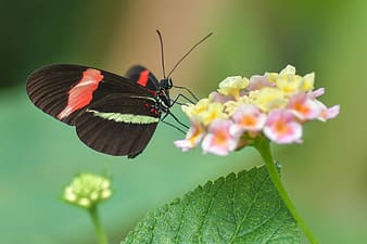 Micro lens photography of red and green striped butterfly perching on pink petaled flowers