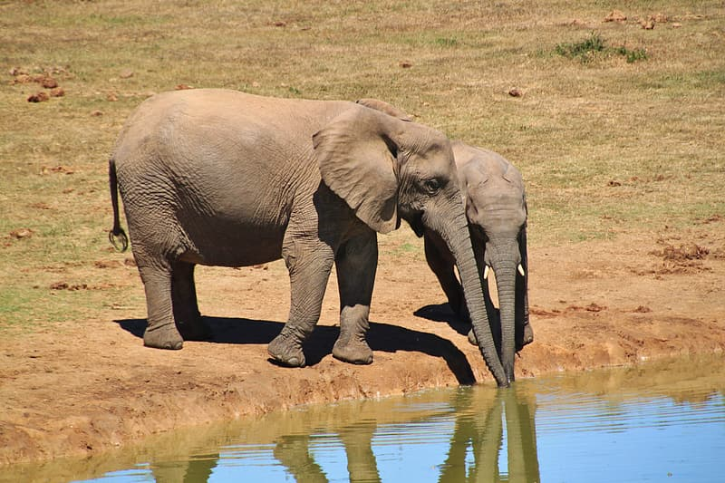 Two elephant and calf drinking water from body of water