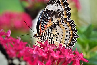 Black white and yellow butterfly on pink flower