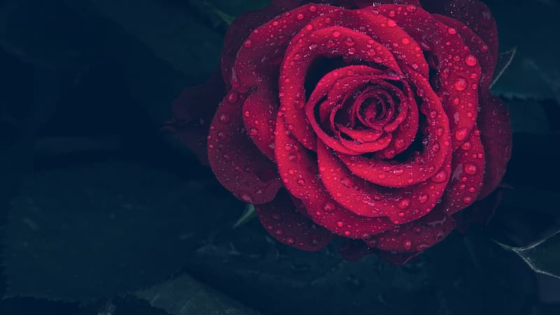 Close-up photography of water dew on red rose in bloom