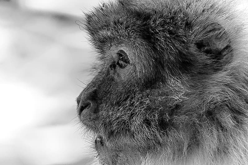 Grayscale photo of monkey face