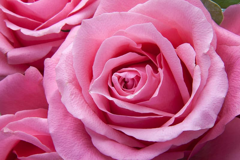 Close-up photo of pink Rose flowers