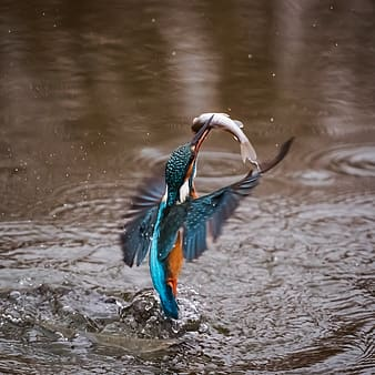 Photography of blue and teal bird under body of water