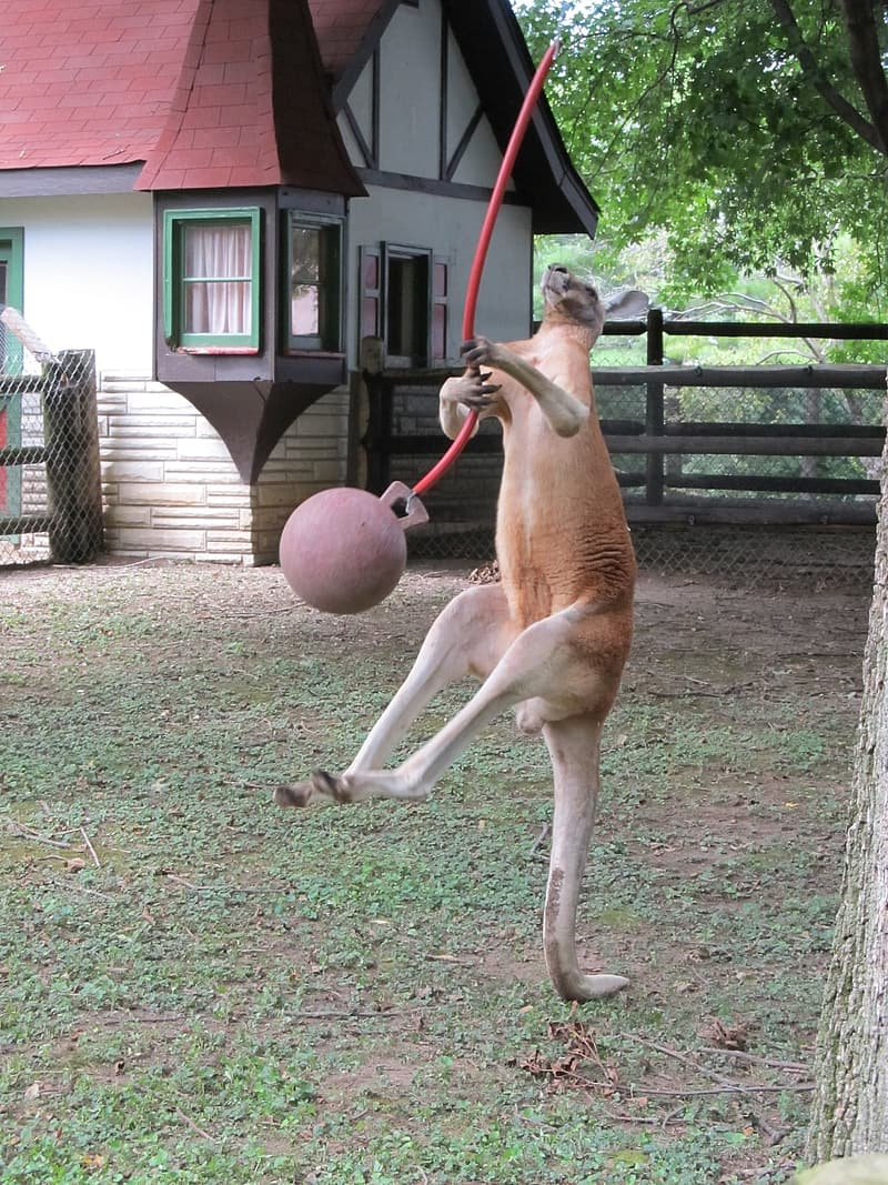 Kangaroo playing ball near house