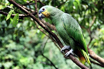 Shallow focus photography of green parrot standing on twig