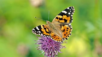 Shallow focus of painted lady butterfly on purple flower