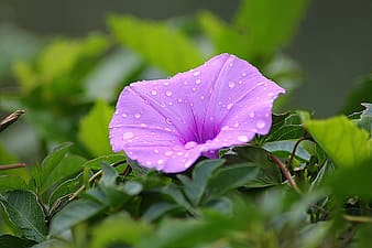 Purple morning glory in closeup photography