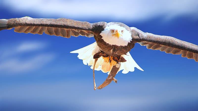 Photo of brown and white eagle