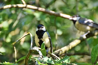 Two white-and-black birds perched on twigs