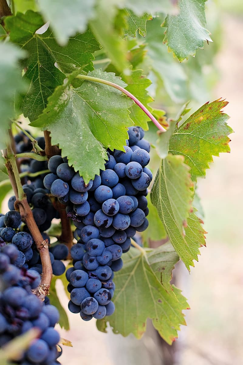Focus photography of purple grapes