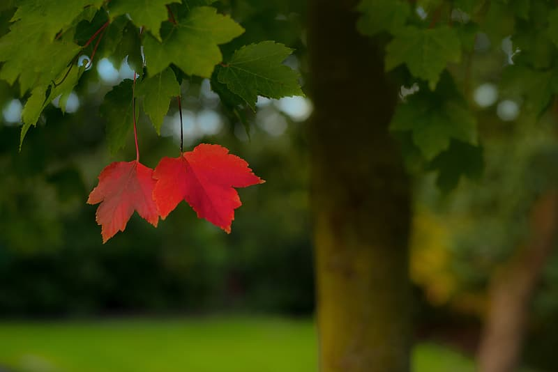 Red and green maple leaves in closeup photography