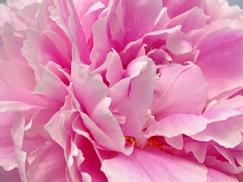 Close up photography of pink petaled flower