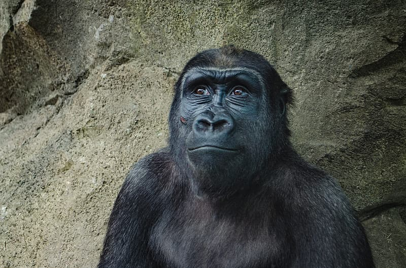Black gorilla leaning on brown concrete wall