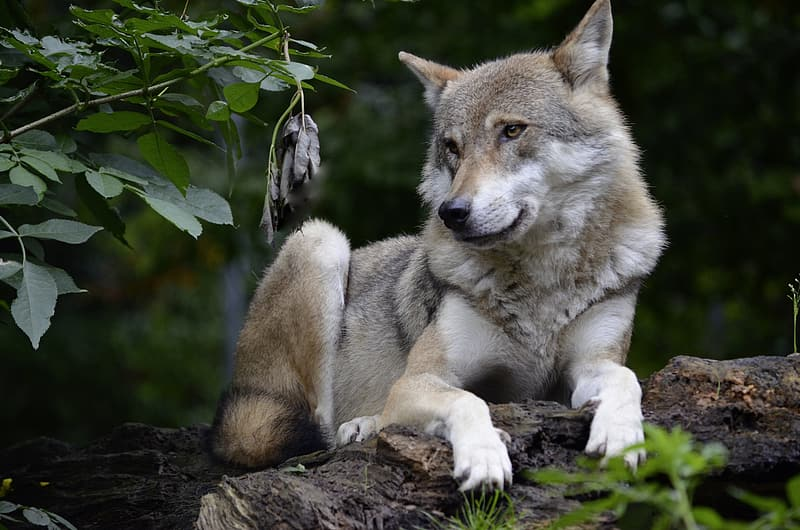 Gray and white wolf on tree log