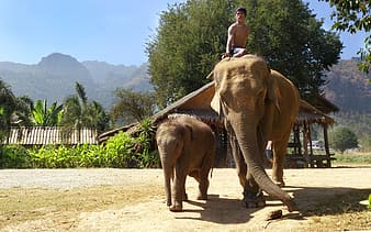Man riding brown elephant