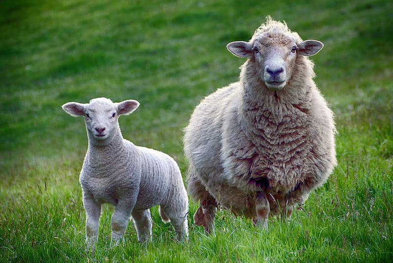 Two brown sheep on green grasses during daytime