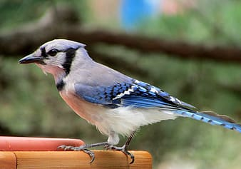 White and blue Blue Jay bird in focus photography