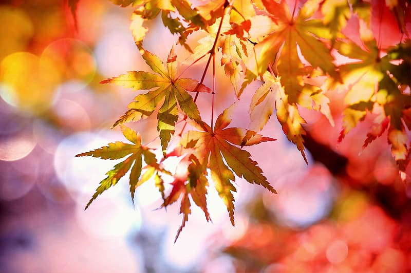 Close up photography of maple leaves
