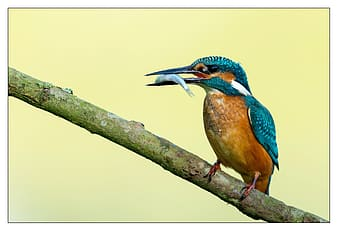 Blue and brown kingfisher with gray fish in bilkl