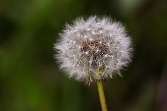 White dandelion in soft-focus photography