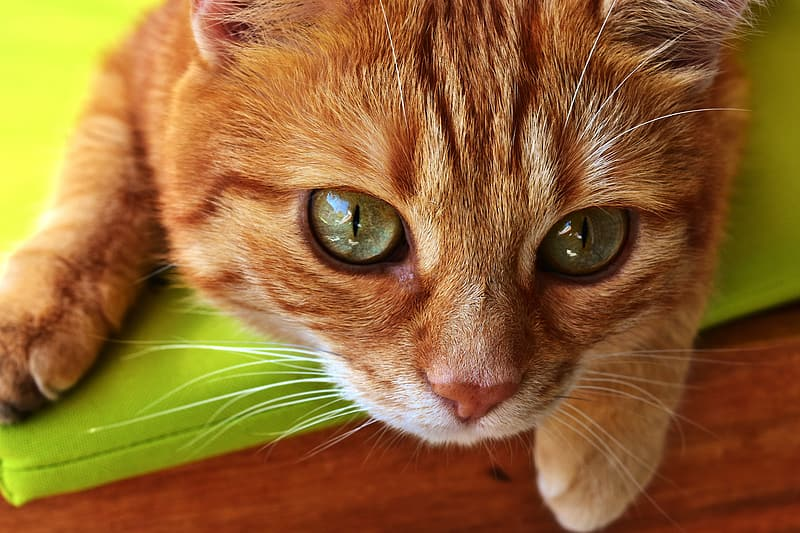 Closeup photo of orange tabby cat