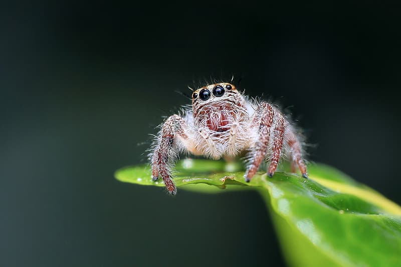 Close up photograph of brown jumping spider on green leaf