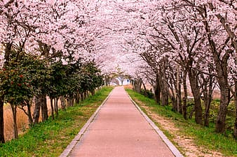 Concrete pathway surrounded with cherry blossoms