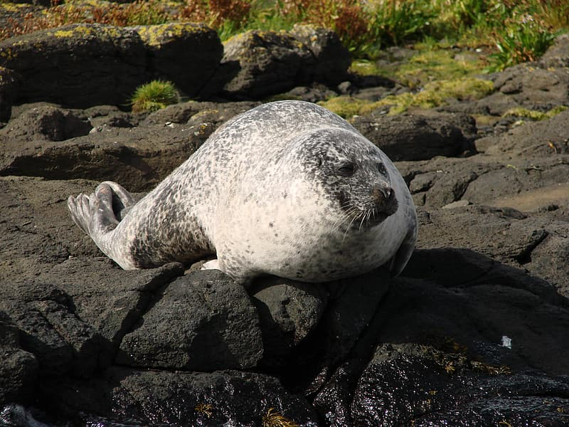 Wildlife photography of seal