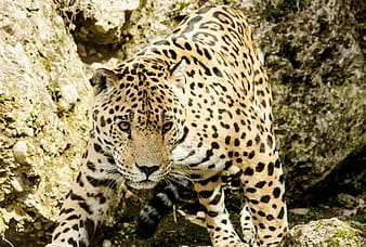 Close-up photography of leopard during daytime