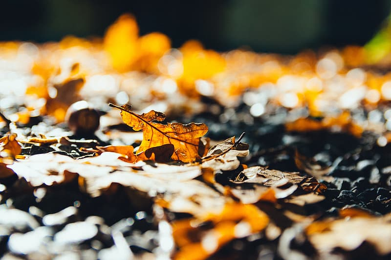 Brown dried maple leaves photography