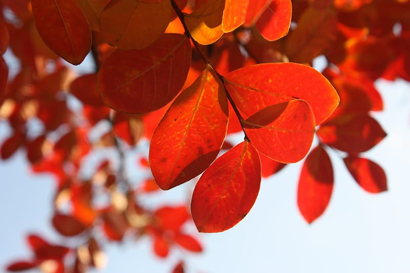 Selective focus photo of red leaf
