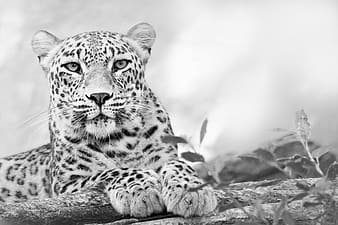 White and black leopard lying on brown wooden surface