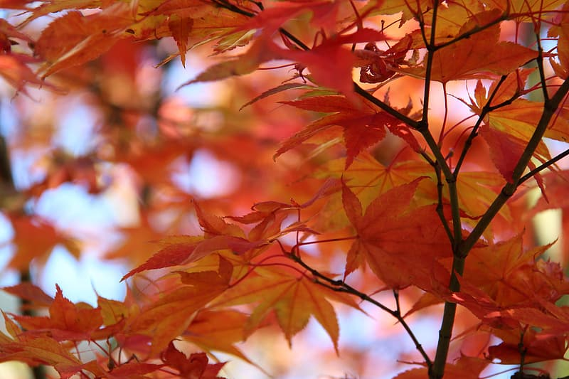 Red maple tree during daytime