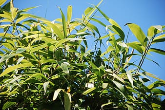 Green and yellow corn plants under blue sky during daytime