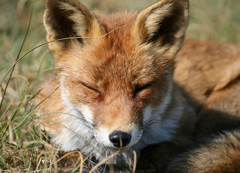 Brown and white fox on brown grass