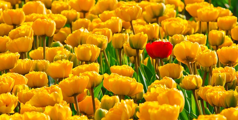Yellow and red tulips field